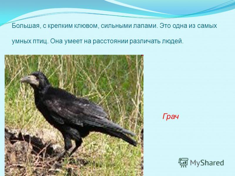 Большая, с крепким клювом, сильными лапами. Это одна из самых умных птиц. Она умеет на расстоянии различать людей. Грач