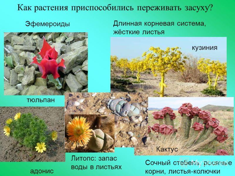 Как растения приспособились переживать засуху? тюльпан Длинная корневая система, жёсткие листья адонис Эфемероиды кузиния Сочный стебель, росяные корни, листья-колючки Литопс: запас воды в листьях Кактус
