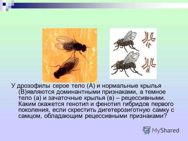 У дрозофилы серое тело (А) и нормальные крылья (В)являются доминантными признаками, а темное тело (а) и зачаточные крылья (в) – рецессивными. Каким окажется генотип и фенотип гибридов первого поколения, если скрестить дигетерозиготную самку с самцом,