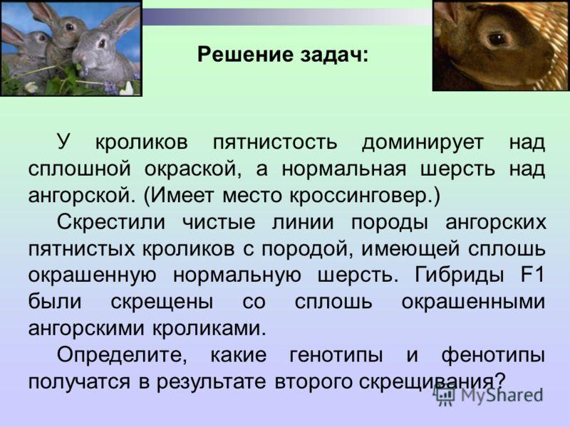 Решение задач: У кроликов пятнистость доминирует над сплошной окраской, а нормальная шерсть над ангорской. (Имеет место кроссинговер.) Скрестили чистые линии породы ангорских пятнистых кроликов с породой, имеющей сплошь окрашенную нормальную шерсть.