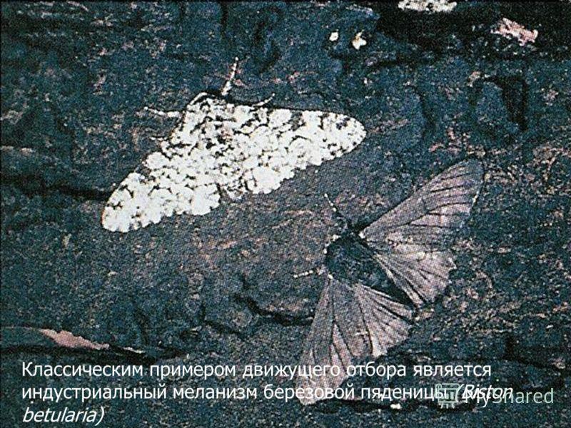 Классическим примером движущего отбора является индустриальный меланизм березовой пяденицы (Biston betularia)