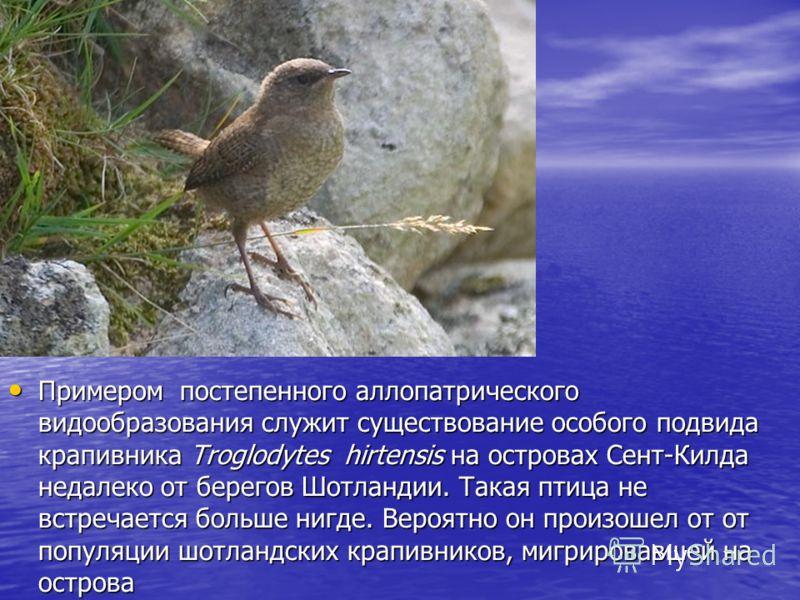 Примером постепенного аллопатрического видообразования служит существование особого подвида крапивника Troglodytes hirtensis на островах Сент-Килда недалеко от берегов Шотландии. Такая птица не встречается больше нигде. Вероятно он произошел от от по