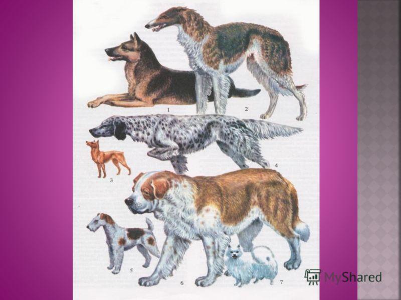 Существует около 700 пород и породных групп собак. Ближайший предок: волк. Верные помощники человека: ездовые, собаки – поводыри, служебно – розыскные, пастухи, сторожевые… « Любящие нас больше, чем себя.» Чарльз Дарвин.