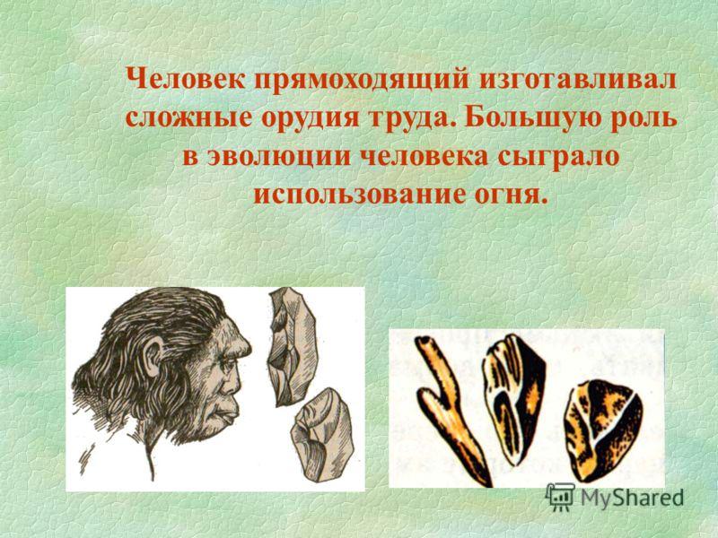 Человек прямоходящий изготавливал сложные орудия труда. Большую роль в эволюции человека сыграло использование огня.