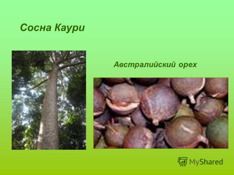 Сосна Каури Австралийский орех