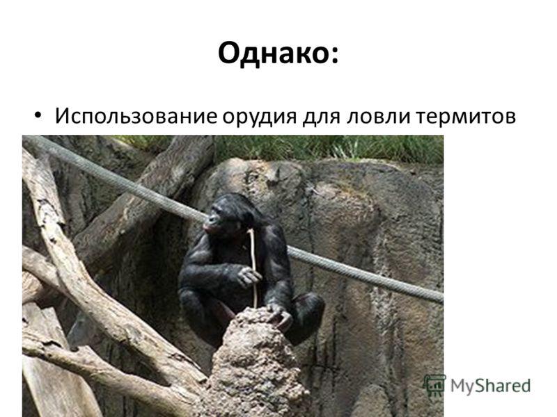 Однако: Использование орудия для ловли термитов