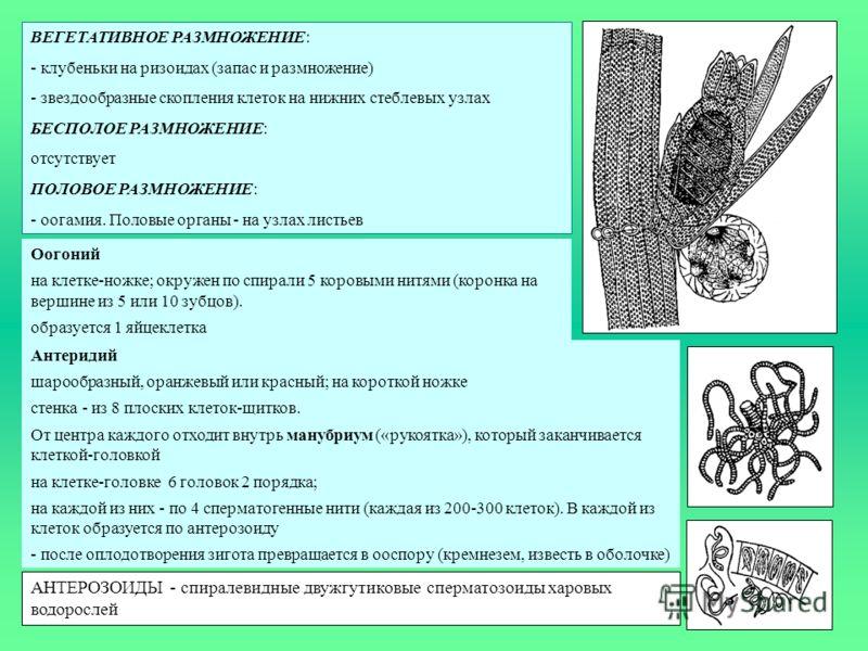 ВЕГЕТАТИВНОЕ РАЗМНОЖЕНИЕ: - клубеньки на ризоидах (запас и размножение) - звездообразные скопления клеток на нижних стеблевых узлах БЕСПОЛОЕ РАЗМНОЖЕНИЕ: отсутствует ПОЛОВОЕ РАЗМНОЖЕНИЕ: - оогамия. Половые органы - на узлах листьев Оогоний на клетке-