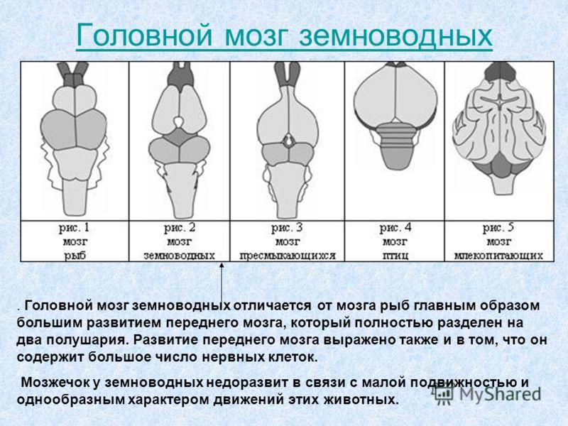Головной мозг земноводных. Головной мозг земноводных отличается от мозга рыб главным образом большим развитием переднего мозга, который полностью разделен на два полушария. Развитие переднего мозга выражено также и в том, что он содержит большое числ