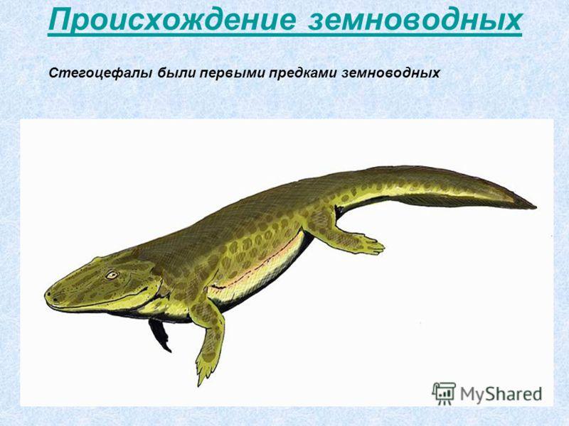 Происхождение земноводных Стегоцефалы были первыми предками земноводных