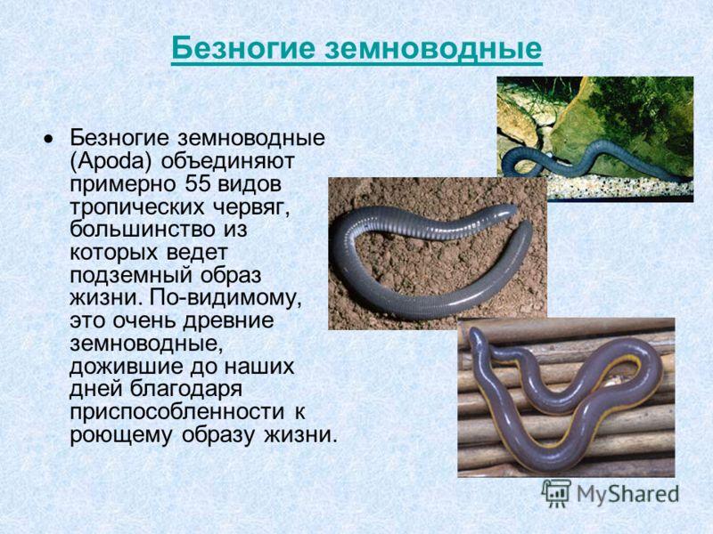 Безногие земноводные Безногие земноводные (Apoda) объединяют примерно 55 видов тропических червяг, большинство из которых ведет подземный образ жизни. По-видимому, это очень древние земноводные, дожившие до наших дней благодаря приспособленности к ро