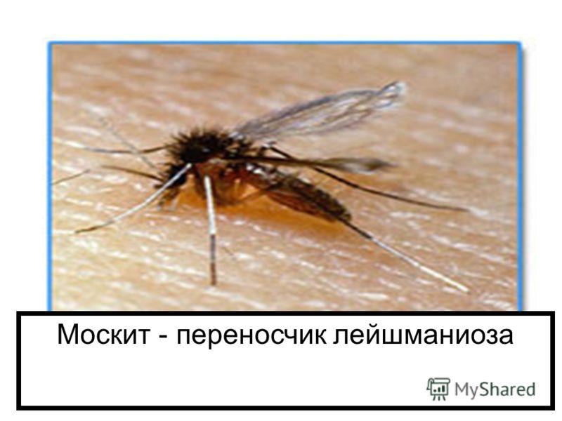Москит - переносчик лейшманиоза