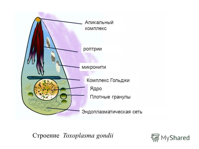 Строение Toxoplasma gondii Апикальный комплекс роптрии Комплекс Гольджи Ядро Эндоплазматическая сеть Плотные гранулы микронити