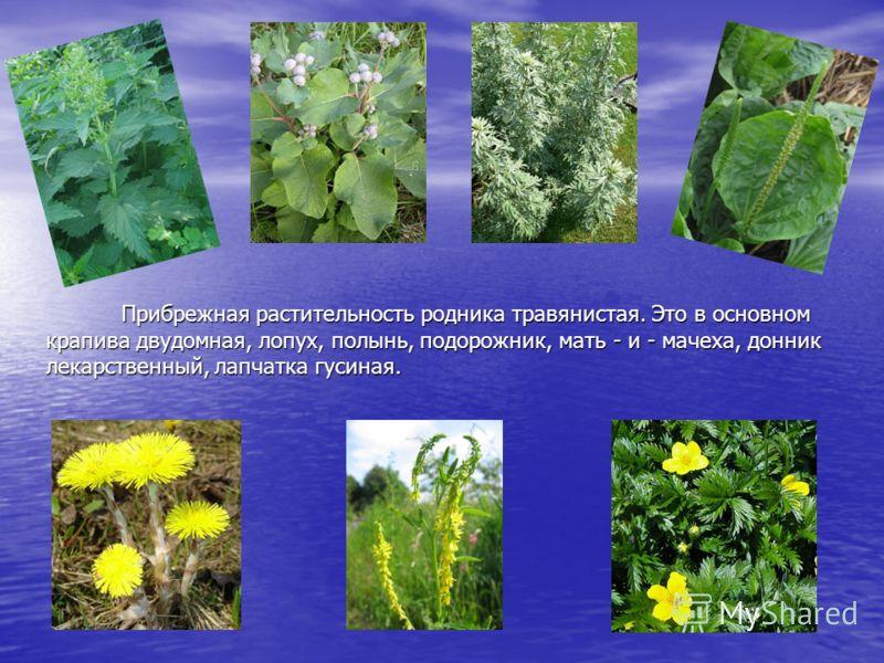 Прибрежная растительность родника травянистая. Это в основном крапива двудомная, лопух, полынь, подорожник, мать - и - мачеха, донник лекарственный, лапчатка гусиная.