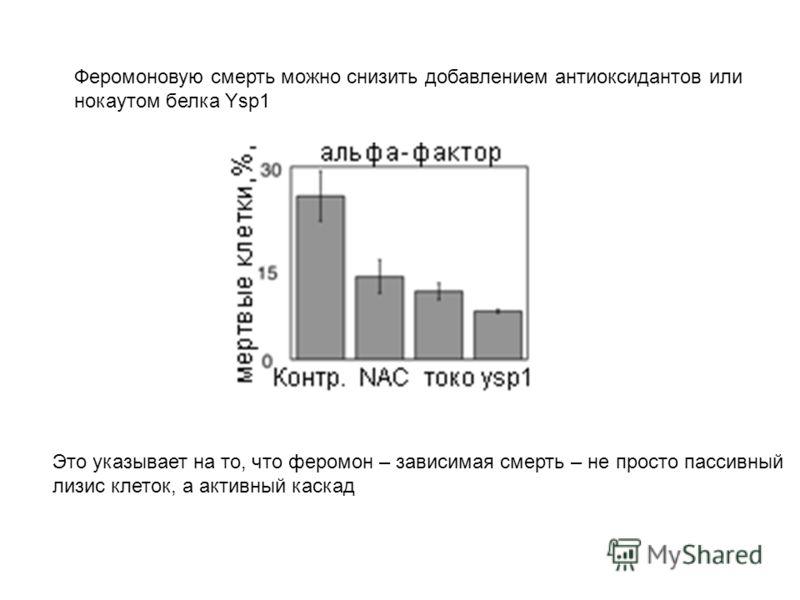 Феромоновую смерть можно снизить добавлением антиоксидантов или нокаутом белка Ysp1 Это указывает на то, что феромон – зависимая смерть – не просто пассивный лизис клеток, а активный каскад