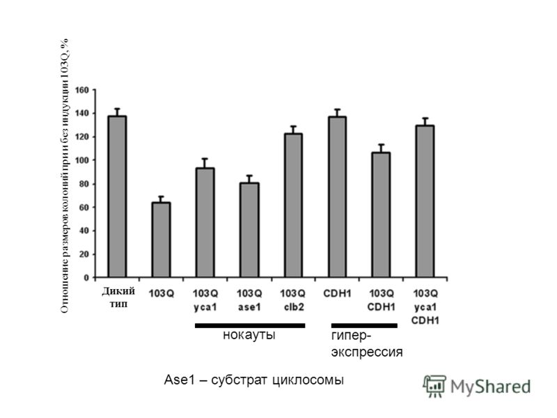 Отношение размеров колоний при и без индукции 103Q, % Дикий тип нокауты гипер- экспрессия Ase1 – субстрат циклосомы