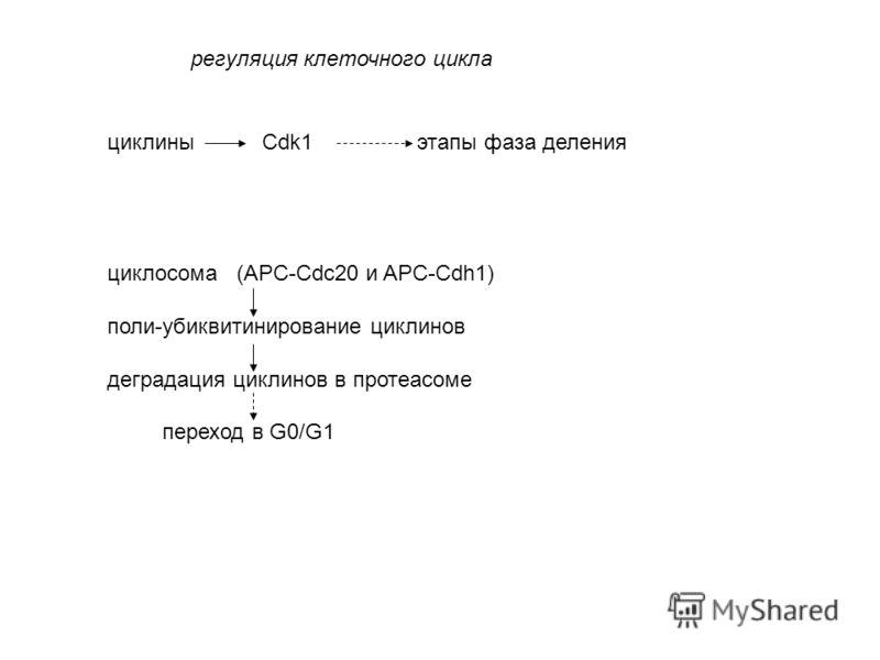 циклины Cdk1 этапы фаза деления циклосома (APC-Cdc20 и APC-Cdh1) поли-убиквитинирование циклинов деградация циклинов в протеасоме переход в G0/G1 регуляция клеточного цикла