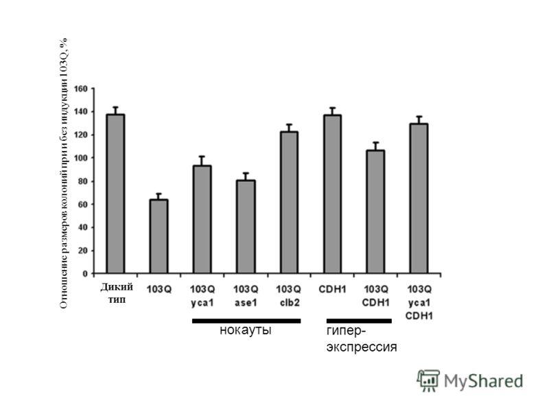 Отношение размеров колоний при и без индукции 103Q, % Дикий тип нокауты гипер- экспрессия