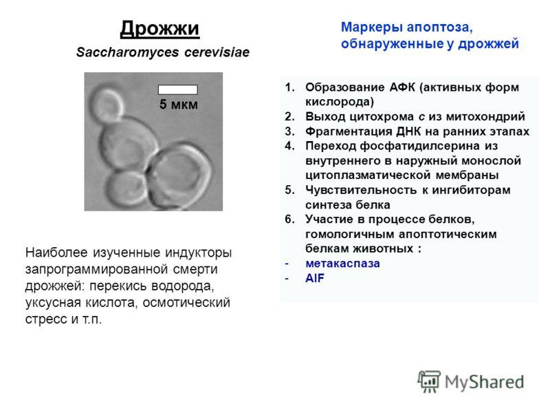 Дрожжи Маркеры апоптоза, обнаруженные у дрожжей 1.Образование АФК (активных форм кислорода) 2.Выход цитохрома с из митохондрий 3.Фрагментация ДНК на ранних этапах 4.Переход фосфатидилсерина из внутреннего в наружный монослой цитоплазматической мембра