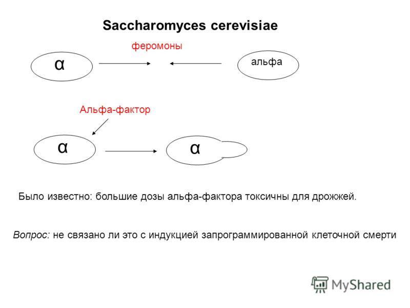Saccharomyces cerevisiae α альфа феромоны α Альфа-фактор α б Было известно: большие дозы альфа-фактора токсичны для дрожжей. Вопрос: не связано ли это с индукцией запрограммированной клеточной смерти