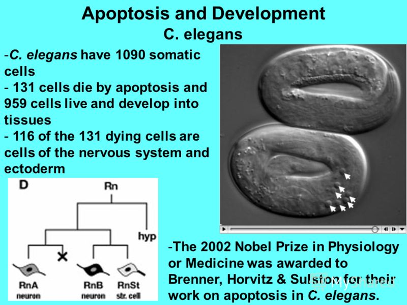 Apoptosis and Development C. elegans -C. elegans have 1090 somatic cells - 131 cells die by apoptosis and 959 cells live and develop into tissues - 116 of the 131 dying cells are cells of the nervous system and ectoderm -The 2002 Nobel Prize in Physi