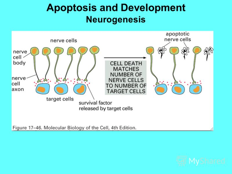 Apoptosis and Development Neurogenesis