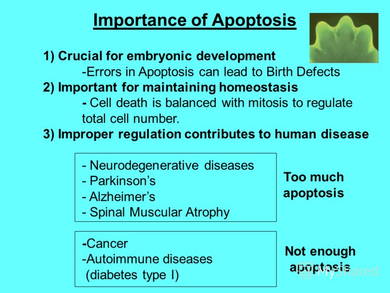 Importance of Apoptosis 1) Crucial for embryonic development -Errors in Apoptosis can lead to Birth Defects 2) Important for maintaining homeostasis - Cell death is balanced with mitosis to regulate total cell number. 3) Improper regulation contribut