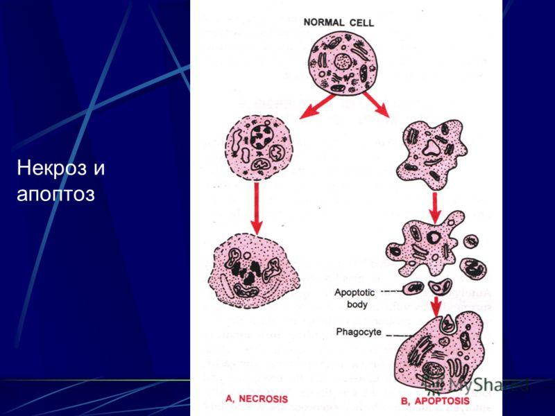 """Презентация на тему: """"Лекция 4 Апоптоз. Некроз. Инфаркт.. Апоптоз - генетически запрограммированная смерть клеток в живом органи"""