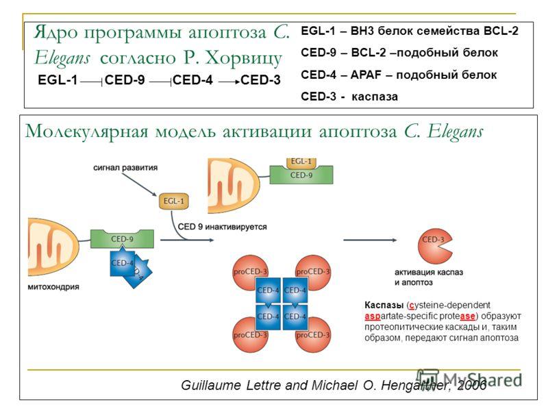 Молекулярная модель активации апоптоза C. Elegans Guillaume Lettre and Michael O. Hengartner; 2006 EGL-1 CED-9 CED-4 CED-3 EGL-1 – BH3 белок семейства BCL-2 CED-9 – BCL-2 –подобный белок CED-4 – APAF – подобный белок CED-3 - каспаза Ядро программы ап