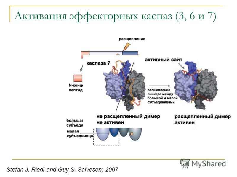 Активация эффекторных каспаз (3, 6 и 7) Stefan J. Riedl and Guy S. Salvesen; 2007