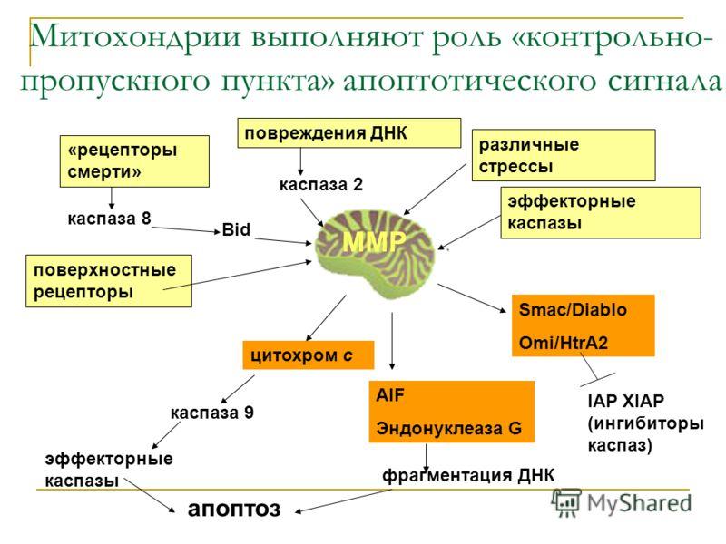 Митохондрии выполняют роль «контрольно- пропускного пункта» апоптотического сигнала «рецепторы смерти» каспаза 8 Bid повреждения ДНК каспаза 2 различные стрессы поверхностные рецепторы эффекторные каспазы MMP цитохром с каспаза 9 эффекторные каспазы