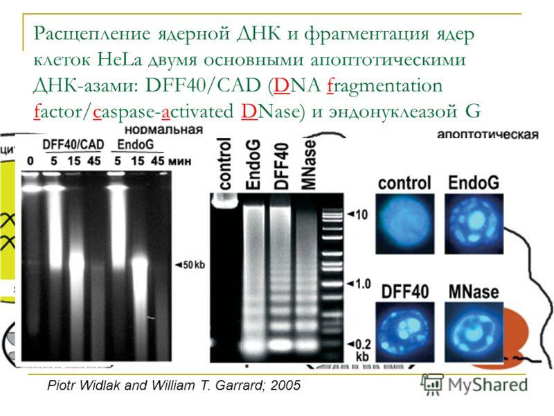 Расщепление ядерной ДНК и фрагментация ядер клеток HeLa двумя основными апоптотическими ДНК-азами: DFF40/CAD (DNA fragmentation factor/caspase-activated DNase) и эндонуклеазой G Piotr Widlak and William T. Garrard; 2005