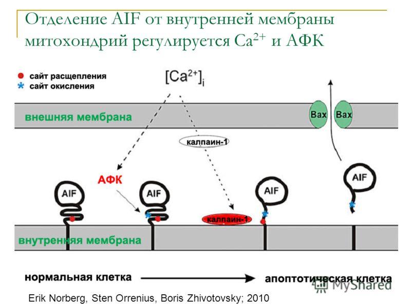 Отделение AIF от внутренней мембраны митохондрий регулируется Ca 2+ и АФК Erik Norberg, Sten Orrenius, Boris Zhivotovsky; 2010