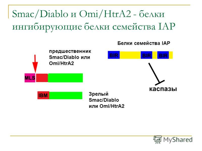 Smac/Diablo и Omi/HtrA2 - белки ингибирующие белки семейства IAP Белки семейства IAP каспазы предшественник Smac/Diablo или Omi/HtrA2 Зрелый Smac/Diablo или Omi/HtrA2