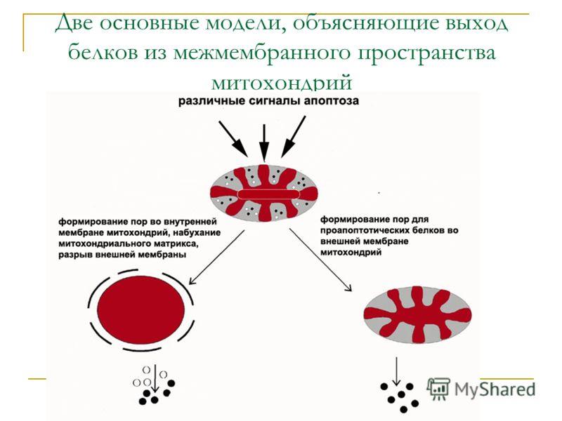 Две основные модели, объясняющие выход белков из межмембранного пространства митохондрий