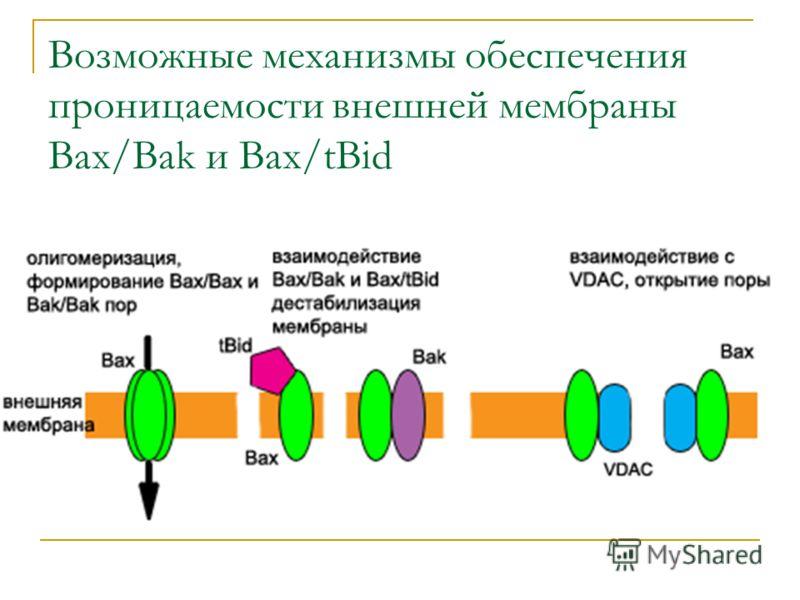 Возможные механизмы обеспечения проницаемости внешней мембраны Bax/Bak и Bax/tBid