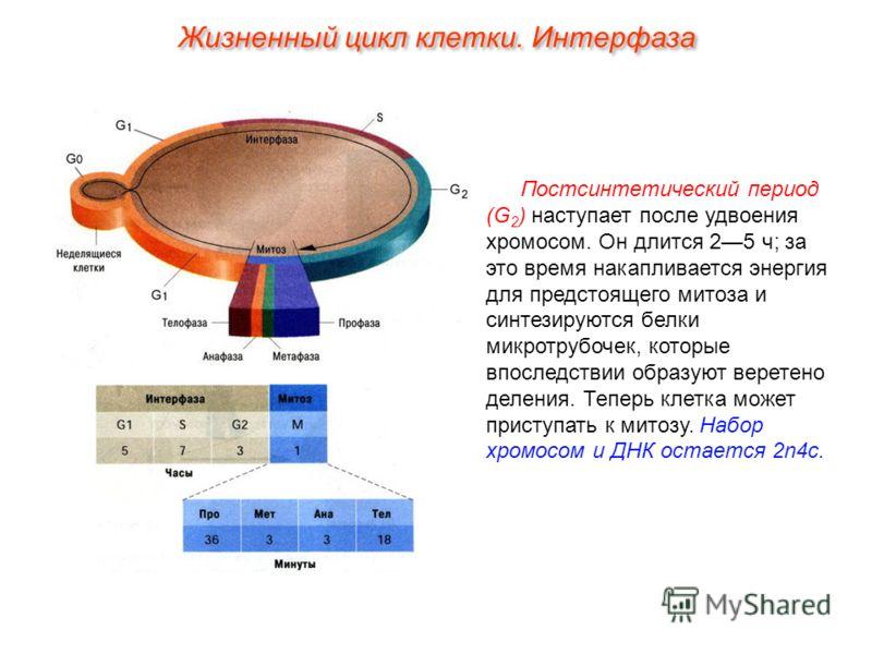 Постсинтетический период (G 2 ) наступает после удвоения хромосом. Он длится 25 ч; за это время накапливается энергия для предстоящего митоза и синтезируются белки микротрубочек, которые впоследствии образуют веретено деления. Теперь клетка может при