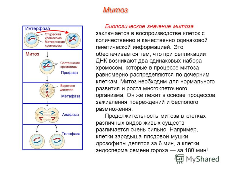 Биологическое значение митоза заключается в воспроизводстве клеток с количественно и качественно одинаковой генетической информацией. Это обеспечивается тем, что при репликации ДНК возникают два одинаковых набора хромосом, которые в процессе митоза р