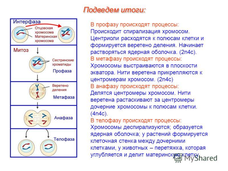 В профазу происходят процессы: Происходит спирализация хромосом. Центриоли расходятся к полюсам клетки и формируется веретено деления. Начинает растворяться ядерная оболочка. (2n4c). В метафазу происходят процессы: Хромосомы выстраиваются в плоскости