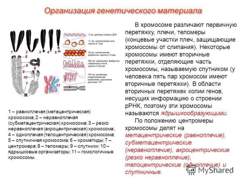 В хромосоме различают первичную перетяжку, плечи, теломеры (концевые участки плеч, защищающие хромосомы от слипания). Некоторые хромосомы имеют вторичные перетяжки, отделяющие часть хромосомы, называемую спутником (у человека пять пар хромосом имеют