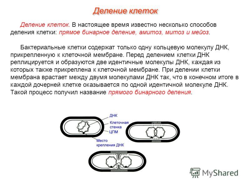 Деление клеток. В настоящее время известно несколько способов деления клетки: прямое бинарное деление, амитоз, митоз и мейоз. Бактериальные клетки содержат только одну кольцевую молекулу ДНК, прикрепленную к клеточной мембране. Перед делением клетки