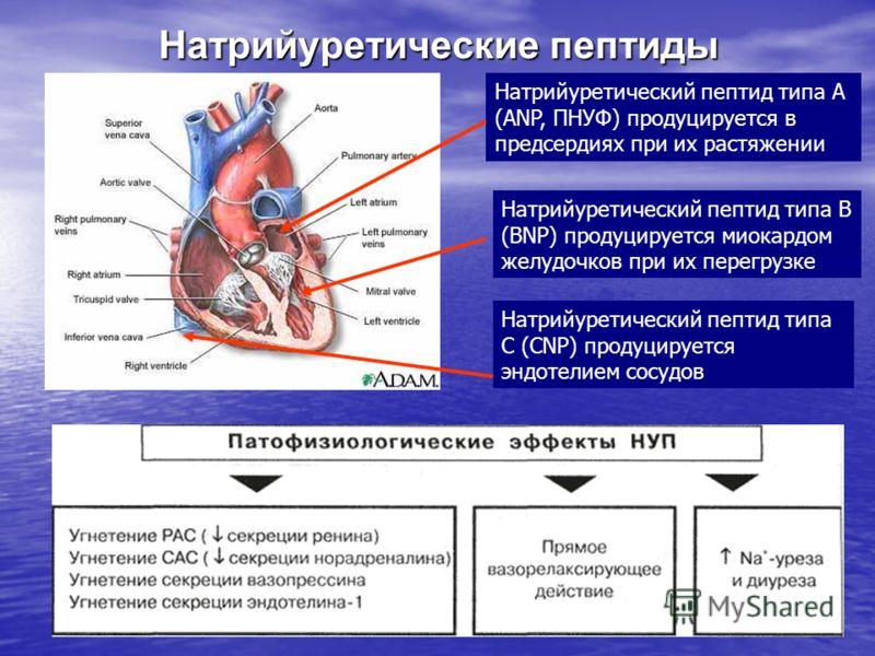 Натрийуретические пептиды Натрийуретический пептид типа А (ANP, ПНУФ) продуцируется в предсердиях при их растяжении Натрийуретический пептид типа В (BNP) продуцируется миокардом желудочков при их перегрузке Натрийуретический пептид типа С (CNP) проду