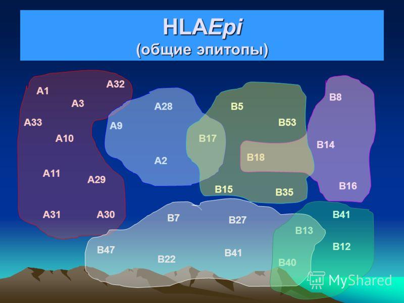 HLA-AB (частные эпитопы) A1 A3 A9 A10 A11 A29 A30A31 A32 A33 A2 A28 B17 B5 B18 B15 B35 B53 B7 B13 B27 B22 B47 B41 B8 B14 B16 B12 B40 B48