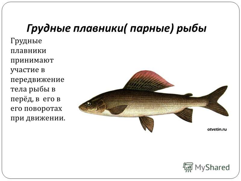 Грудные плавники ( парные ) рыбы Грудные плавники принимают участие в передвижение тела рыбы в перёд, в его в его поворотах при движении.