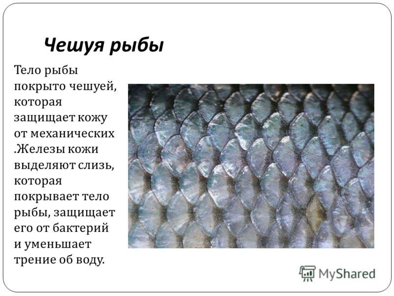 Чешуя рыбы Тело рыбы покрыто чешуей, которая защищает кожу от механических. Железы кожи выделяют слизь, которая покрывает тело рыбы, защищает его от бактерий и уменьшает трение об воду.