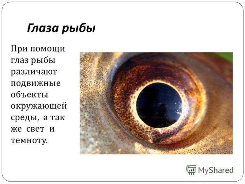 Глаза рыбы При помощи глаз рыбы различают подвижные объекты окружающей среды, а так же свет и темноту.