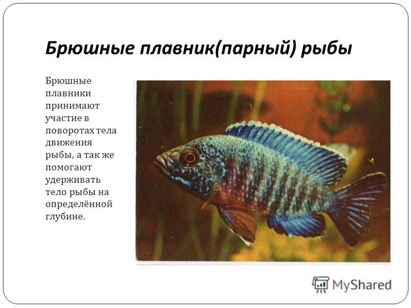 Брюшные плавник ( парный ) рыбы Брюшные плавники принимают участие в поворотах тела движения рыбы, а так же помогают удерживать тело рыбы на определённой глубине.