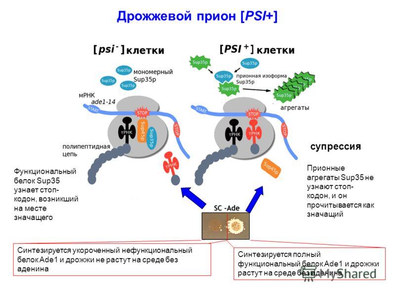 Дрожжевой прион [PSI+] супрессия Функциональный белок Sup35 узнает стоп- кодон, возникший на месте значащего Синтезируется укороченный нефункциональный белок Ade1 и дрожжи не растут на среде без аденина Синтезируется полный функциональный белок Ade1