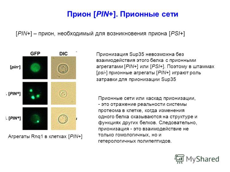 Прион [PIN+]. Прионные сети [PIN+] – прион, необходимый для возникновения приона [PSI+] Агрегаты Rnq1 в клетках [PIN+] Прионные сети или каскад прионизации, - это отражение реальности системы протеома в клетке, когда изменения одного белка сказываютс
