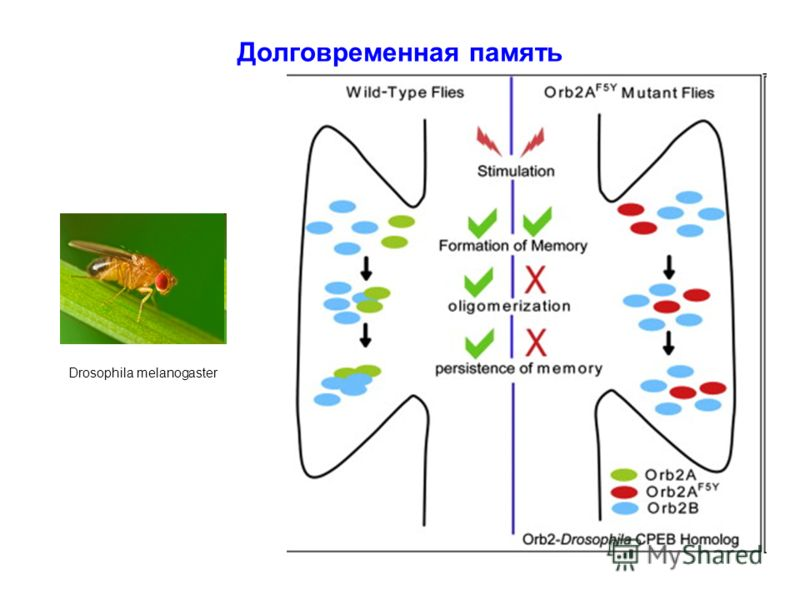 Drosophila melanogaster Долговременная память