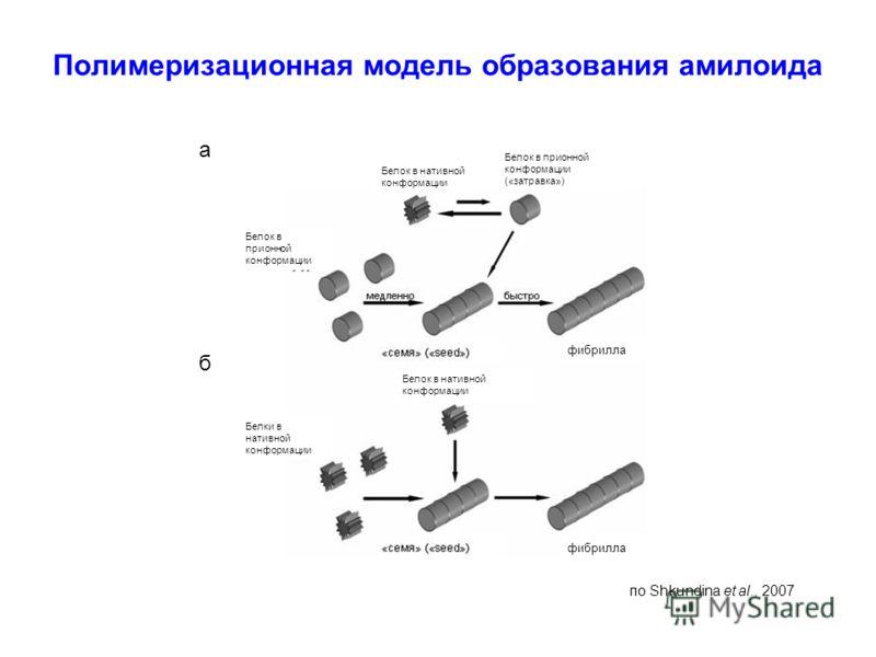 Полимеризационная модель образования амилоида Белок в нативной конформации Белок в прионной конформации («затравка») Белок в прионной конформации Белки в нативной конформации Белок в нативной конформации фибрилла а б по Shkundina et al., 2007